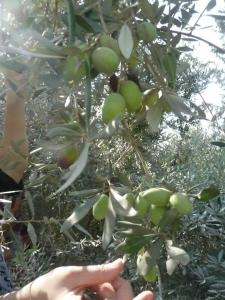 Harvesting olives in Gaza - Oct. 2012