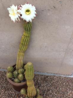 Argentine cactus 2