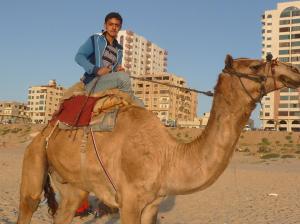 Gaza camel
